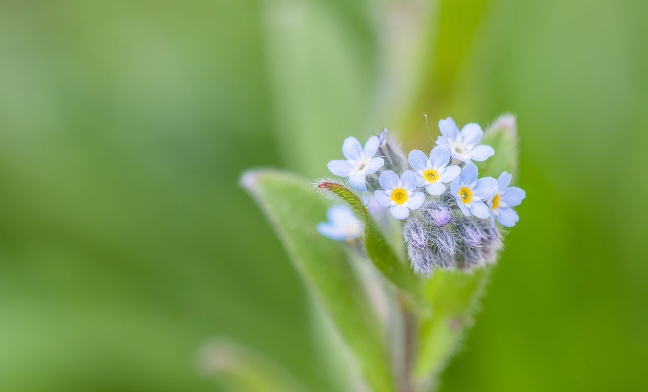 Beauty In Nature Blooming Blossom Blue Botany Close-up Day Flower Flower Head Focus On Foreground Forget Me Not Forget-me-not Fragility Freshness Growth In Bloom Nature Outdoors Petal Selective Focus Showcase June Stem Summertime The Essence Of Summer The Week On EyeEm