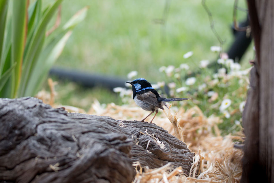 The tiny male Fairy Wren - so pretty. Fast too! Animal Themes Animal Wildlife Animals In The Wild Australia Beauty In Nature Bird Close-up Day Fairy Wren Nature No People One Animal Outdoors Perching Rock - Object The Week Of Eyeem The Week On Eyem Tiny Bird