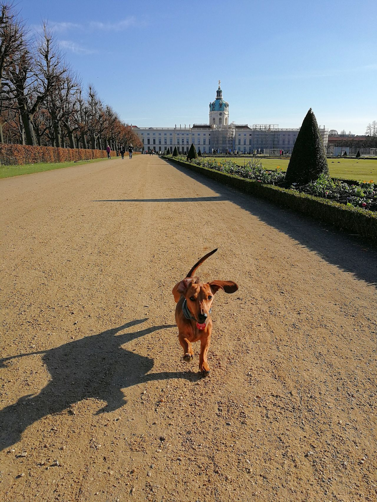 Castle Enjoying Nature Excercising Fun Garden Architecture Happy Dog In Motion Royal Garden Shadowplay Shadows & Lights Blue Sky City Dachshund Dog Enjoying Life Nature No Clouds No People One Animal Running Dachshund Running Dog Running Teckel Shadow Sunlight Teckel Amor Mio