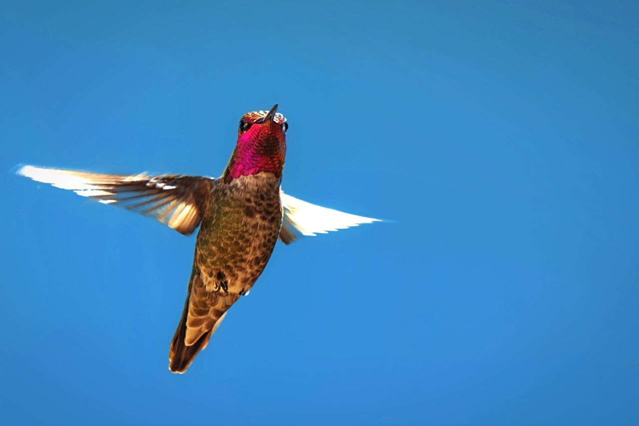 Beautiful stock photos of hummingbird, , Animal Themes, Clear Sky, Day
