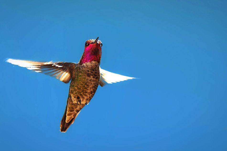 Beautiful stock photos of hummingbird, , Animal Themes, Clear Sky, Day