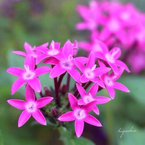 綺麗に寄せ植えのペンタスが咲いてます。 Flower Pink Color Beauty In Nature Flower Photography Flowers_collection Nature_collection Flower Collection Flowerporn ペンタス