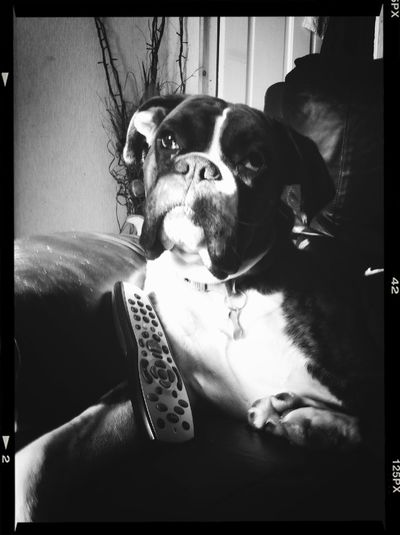 Alfie stole my seat and my remote, but I forgive him :)
