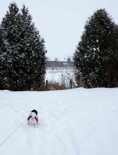 walking the dog in winter Dog Leash Winter Snow Cold Temperature One Person Winter Sport People Outdoors Snowing Nature Tree Sky