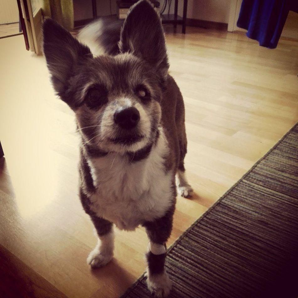 Efter läkarbesöket..plåster runt... Eh, handleden☺? Lundehund/papillon Brunothedog I Love My Dog❤ My Dogs Are Cooler Than Your Kids