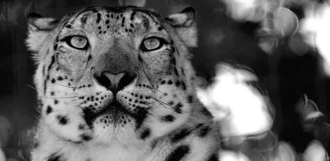 Blackandwhite Wildlife Cat Nature Portrait
