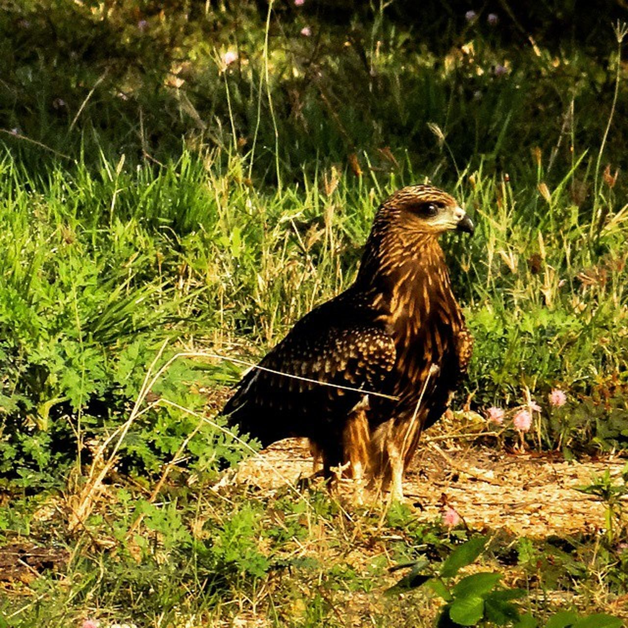 bird, one animal, grass, animal themes, field, no people, animals in the wild, plant, outdoors, day, bird of prey, nature, domestic animals