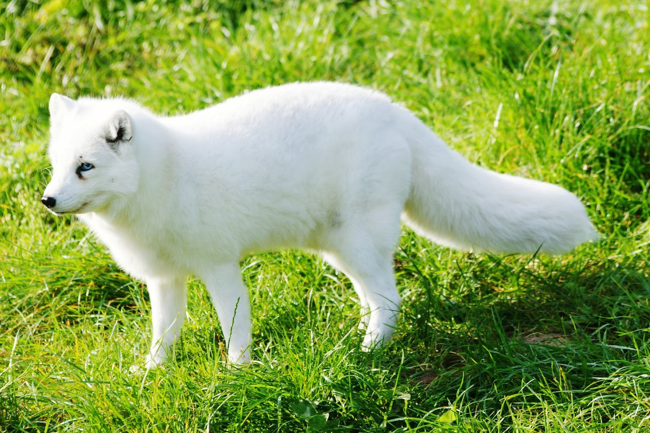 Arctic fox... Arctic Fox Vulpes Lagopus White Fox Snow Fox Polar Fox Fox Animal Wildlife Nature Zoo Zoo Animals  Outdoors Taking Photos Grass Check This Out Enjoying Life Trip Shadow Denmark Day EyeEm Nature Lover Eyeem Animal Best Shots Blue Eyes White Fur