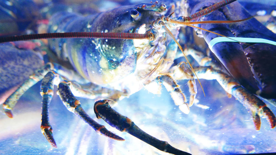 Beautiful stock photos of lobster, Animal Themes, Close-Up, Day, Fish Tank