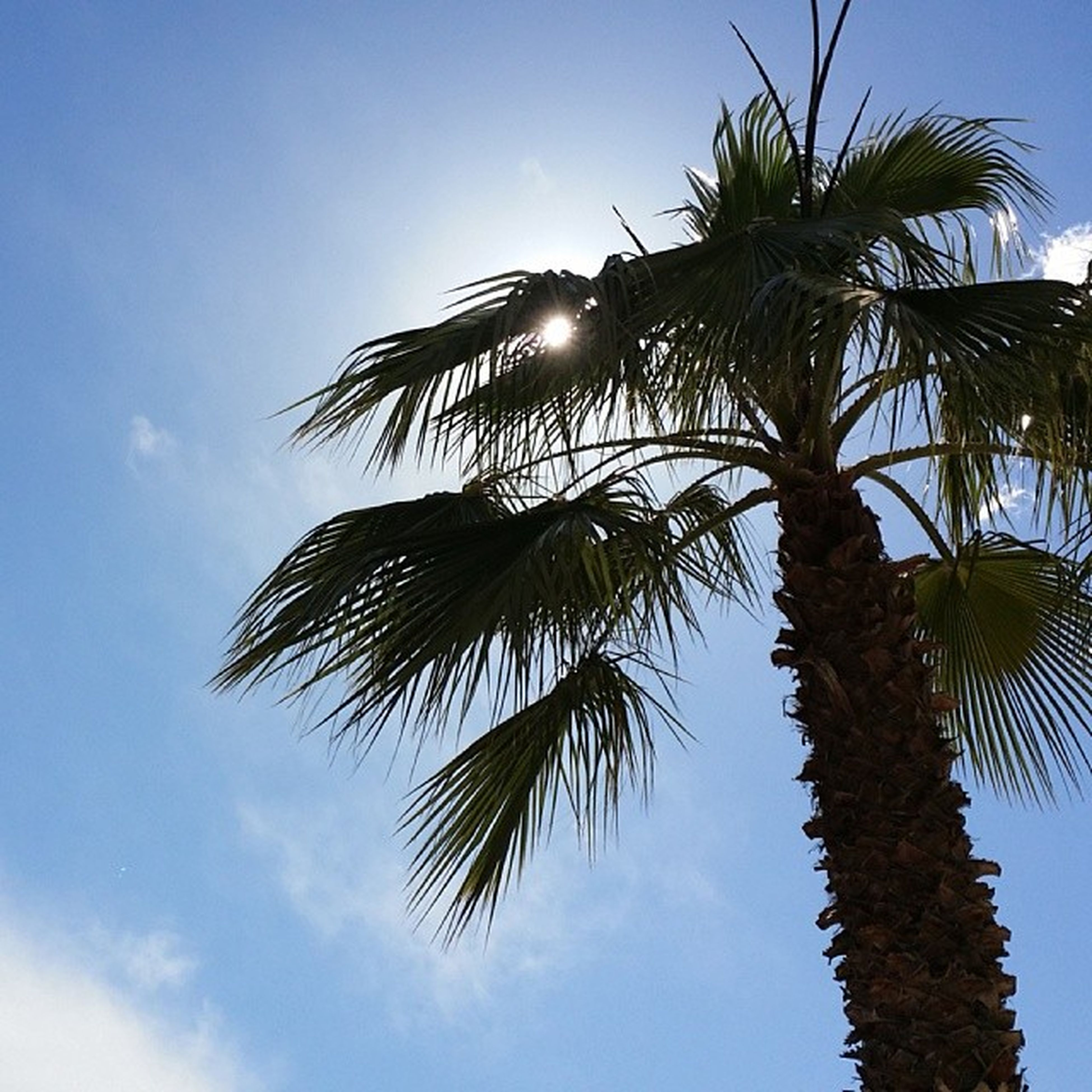 low angle view, palm tree, tree, sky, growth, sun, sunlight, nature, blue, tree trunk, tranquility, clear sky, coconut palm tree, beauty in nature, branch, sunbeam, tall - high, day, outdoors, lens flare