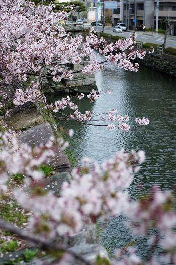 徳島県 Sakura Japan