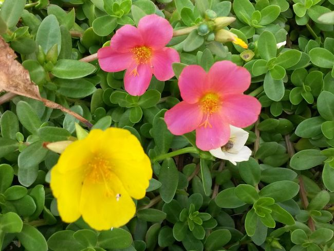 Flowers,Plants & Garden Flowers_collection Freshness Yellowflower Pink Color Beauty In Nature Greenery Focus On Foreground Whiteflower Humble-bee From My Point Of View No People