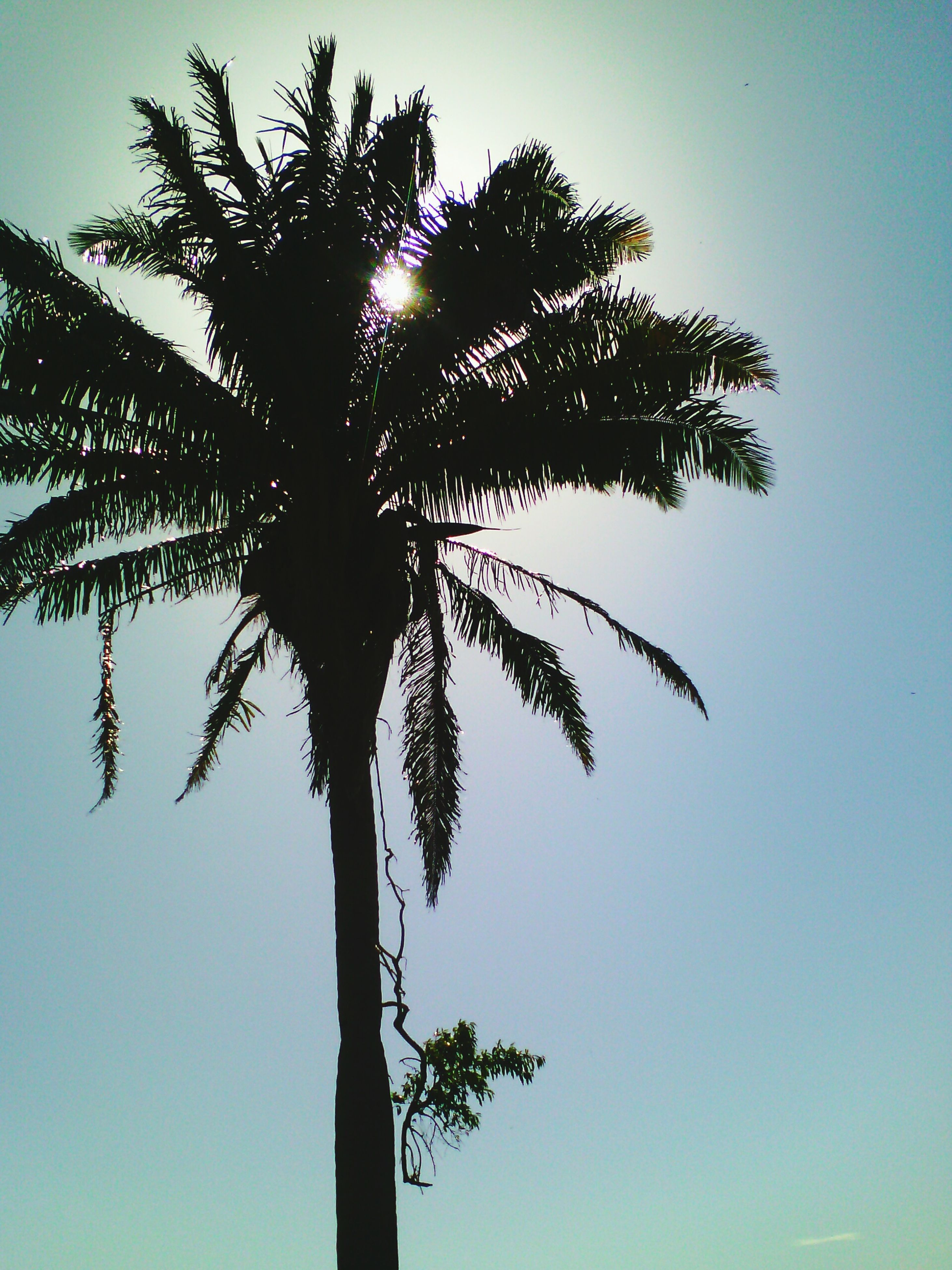 tree, low angle view, clear sky, silhouette, tree trunk, tranquility, branch, growth, nature, beauty in nature, tranquil scene, sun, palm tree, scenics, sky, sunlight, single tree, sunset, no people, outdoors