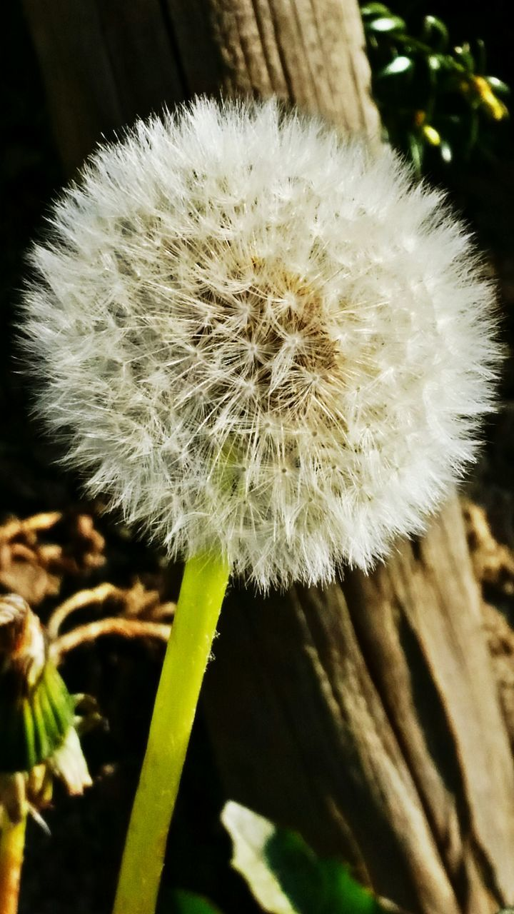 Close-Up Of Dandelion In Yard