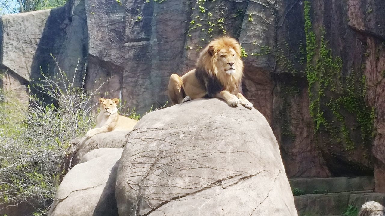 Lion Animal Themes Mammal Sitting Outdoors Day Lions Lioness Zoo Zoo Animals  King Of The Jungle King Queen
