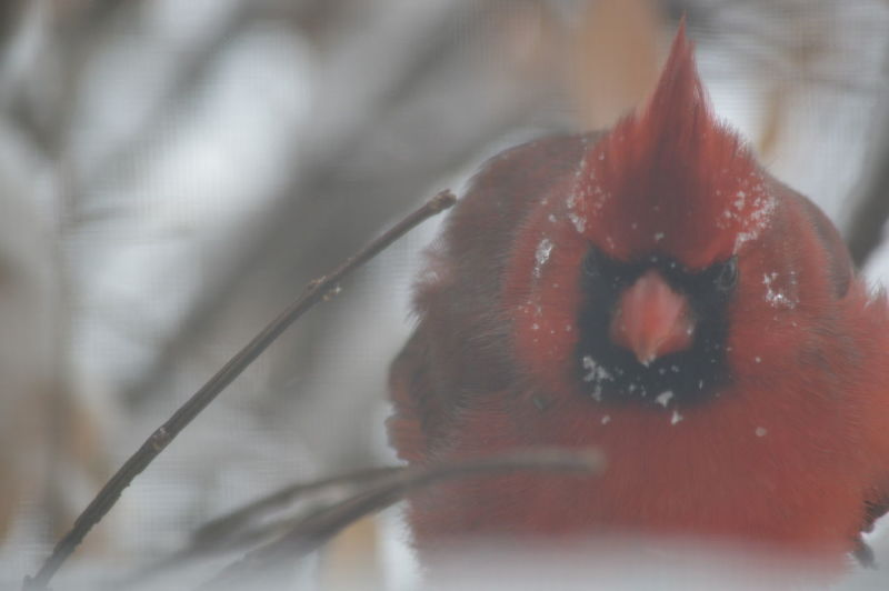 Birdwatching Cardinal Tranquility Winter Bird Eye4photography  Eyem Nature Lovers  Fragility Macro Nature No People Snow