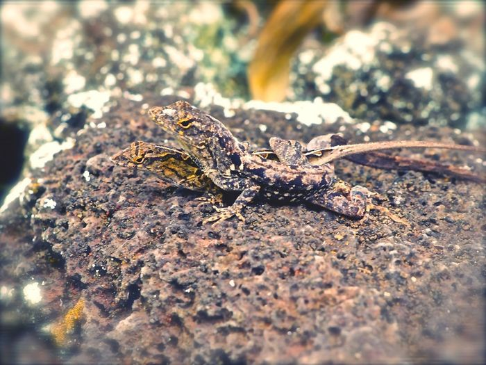 Freaky Lovers Gecko