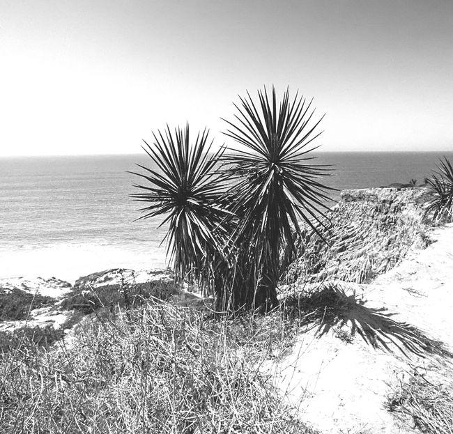 Yucca plant at Torreypines state park San Diego California Blackandwhite Nature Landscape