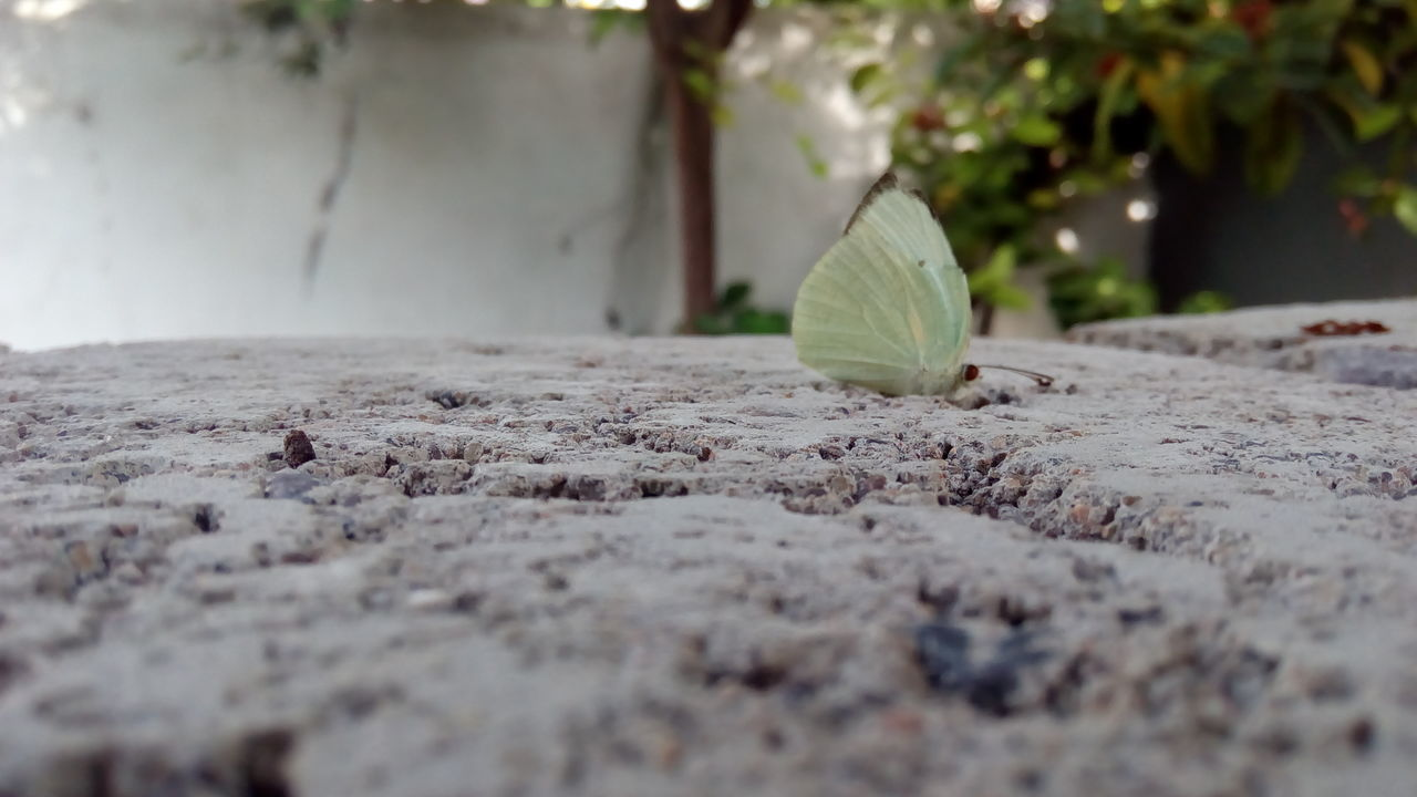 Butterfly on the bricks.. EyeEm Selects Day Outdoors No People Nature Close-up Insect Butterfly - Insect Bricks Surface Level Common Emigrant Butterfly Lemon Emigrant Butterfly Catopsilia Pomona