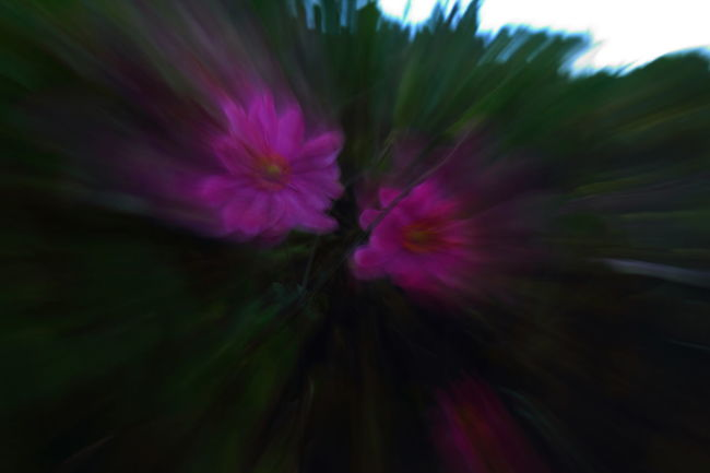Capturing Motion In The Garden Backgrounds Beauty Beauty In Nature Capturing Movement Close-up Day Flower Flower Head Fragility Freshness Garden Flowers Garden Photography Growth Horizontal Nature No People Outdoors Petal Pink Color Plant Zoomeffect