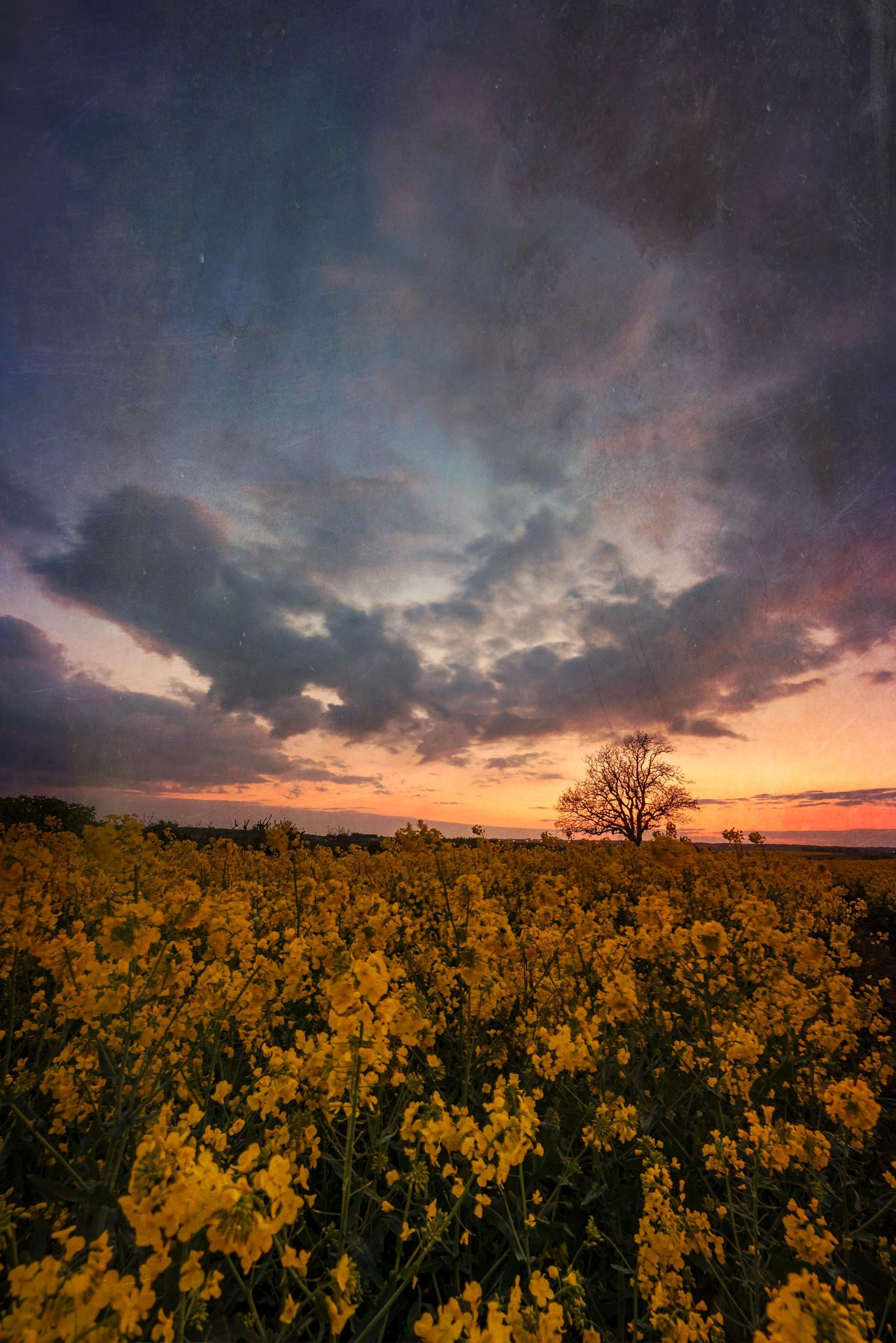 Summer Hues Flower Nature Beauty In Nature Tranquility Sunset Growth Tranquil Scene Sky Scenics Yellow No People Landscape Plant Field Outdoors Tree Fragility Flower Head Day The Great Outdoors - 2017 EyeEm Awards Lone Tree Summertime British Countryside Rapeseed Field Countryside