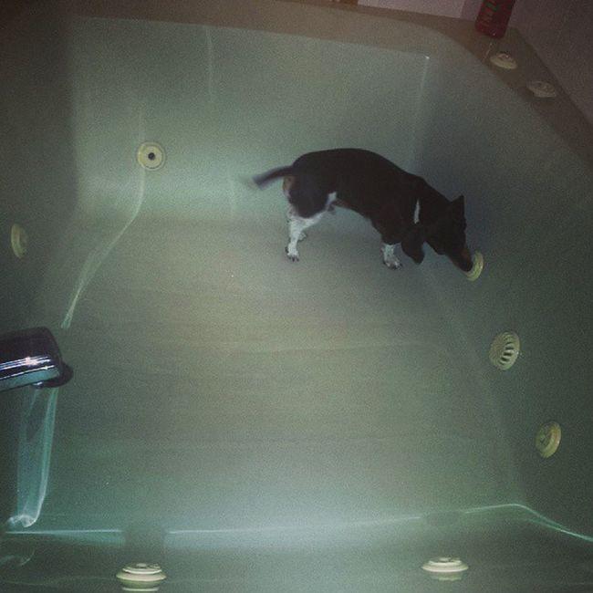 Bathtime Weirddogsofinstagram Freakofnature Getoutofthetub jacuzzi wienerdog sausagedog dogsofinstagram