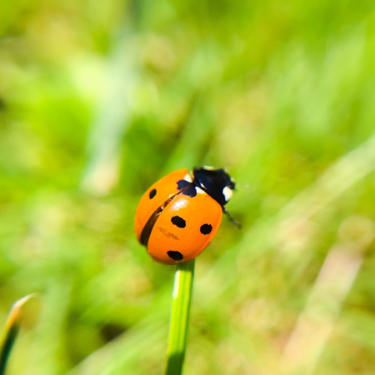 Ladybug on blade of grass Ladybug Insect Photography Macro Photography Nature Photography Insects  Insect Detail Macro Close-up Grass Stalk Blade Of Grass Summertime Springtime