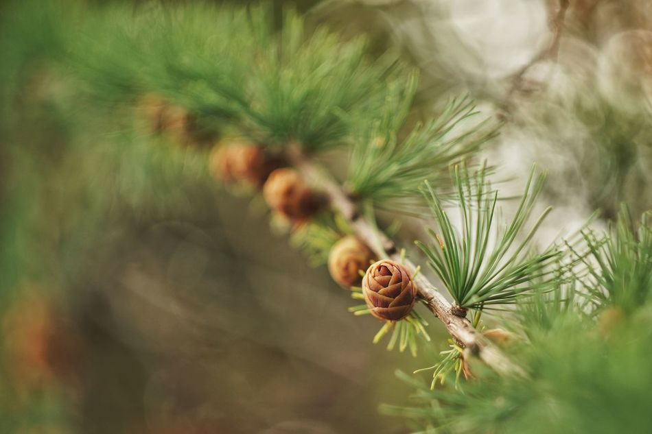 Nature Plant Close-up Outdoors Beauty In Nature Growth Pine Cone Freshness Needle - Plant Part Fir-tree Fir-cone Cone Snag Strobilus Pine Maximum Closeness Fir Picea Macro Photography Bokeh Forest Tree