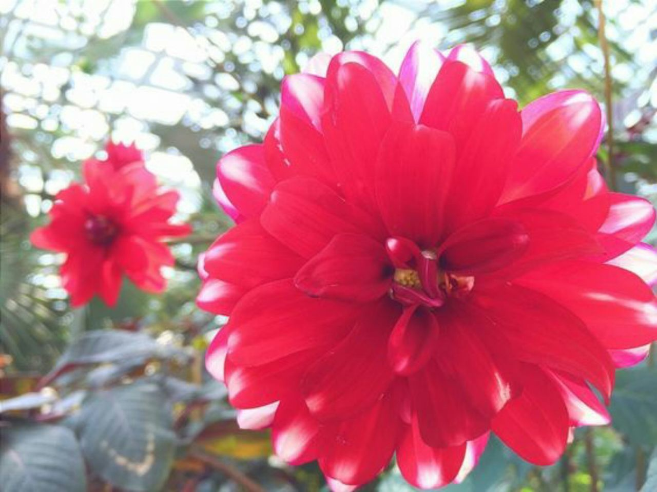 flower, petal, nature, beauty in nature, flower head, plant, day, growth, outdoors, fragility, no people, freshness, blossom, close-up, red, focus on foreground, tree, blooming, hibiscus
