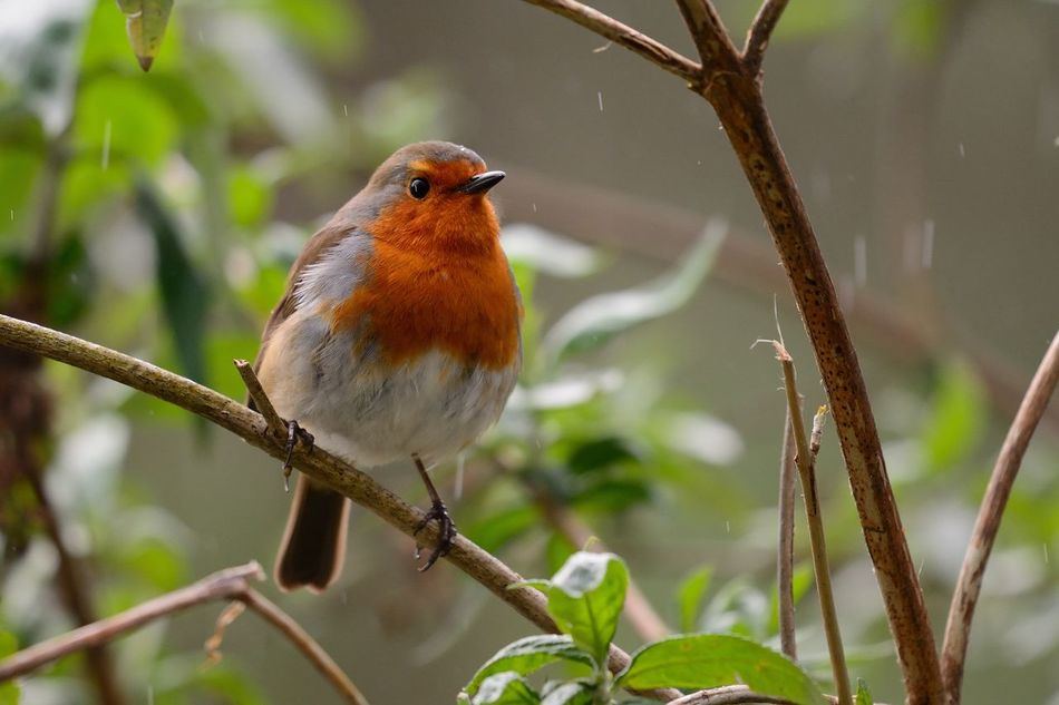 Animal Themes Animal Wildlife Animals In The Wild Beauty In Nature Bird Branch Check This Out Close-up Day EyeEm Best Shots EyeEm Nature Lover Focus On Foreground Nature Nature Nature_collection No People One Animal Outdoors Perching Rain Robin Songbird  Taking Photos Tree Wildlife