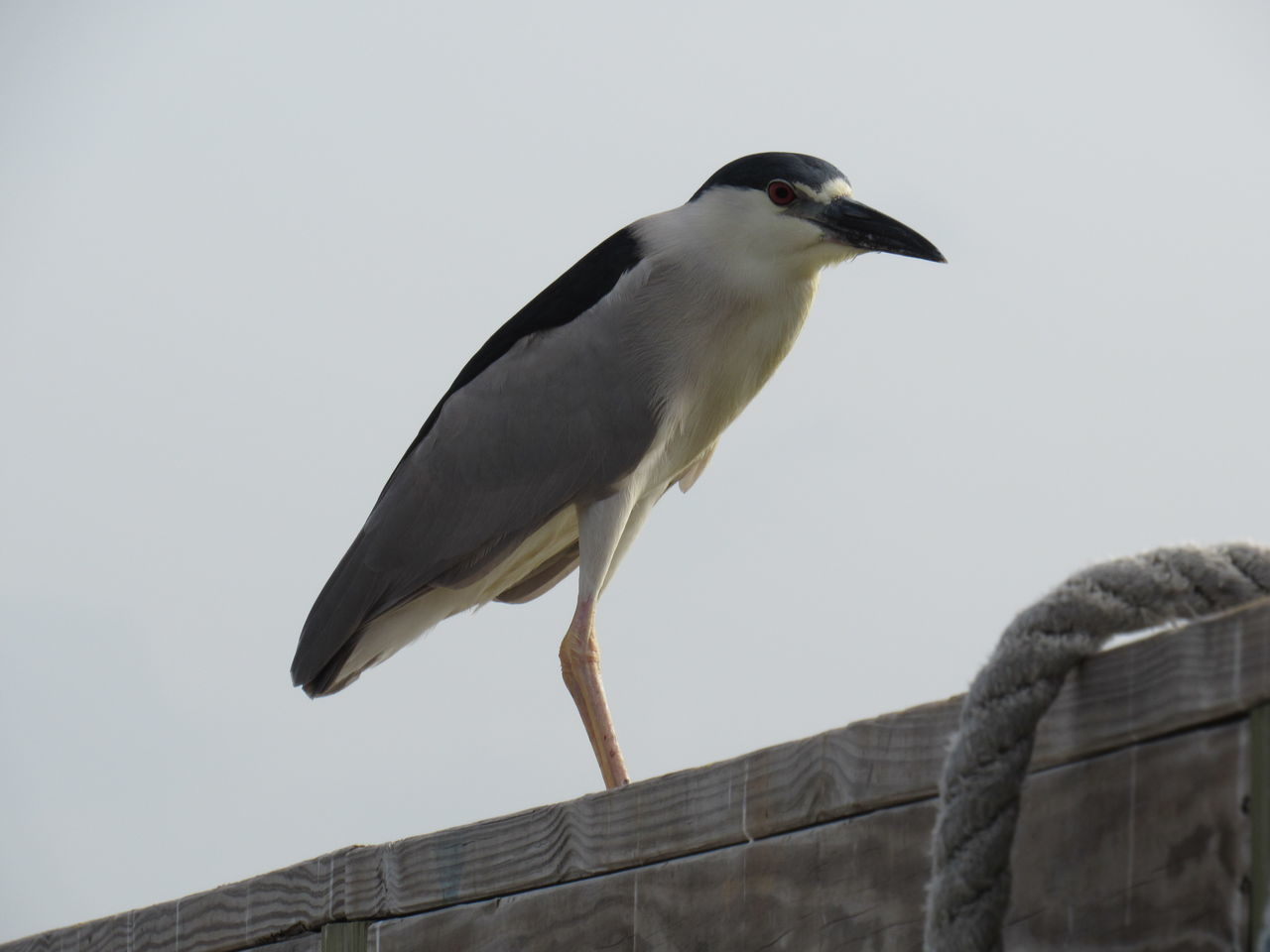 Birds That Fly Black & White Black Crowned Night Heron Blown Color Blue Sky Grey And Red Gulf Of Mexico Harbor View Long Beek Long Legs Rope And Wood Sea Bird