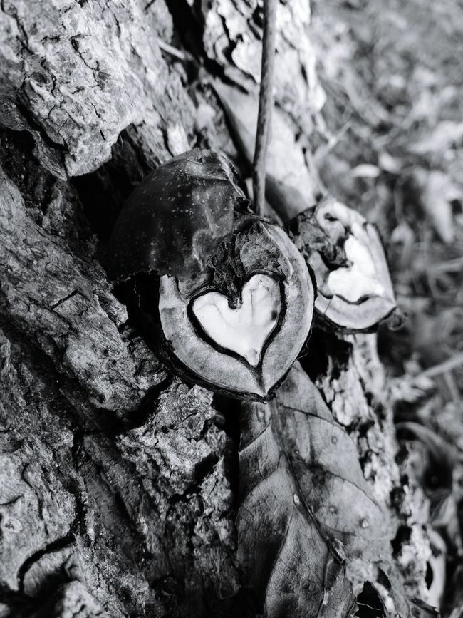 Walnut Heartbreaker Heart ❤ Tree Tree Trunk Close-up Bark Growth Full Frame Outdoors Nature Tranquility Extreme Close-up Day Zoology No People