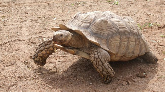 New Talents Beuty Of Nature Animals Giant Tortoise