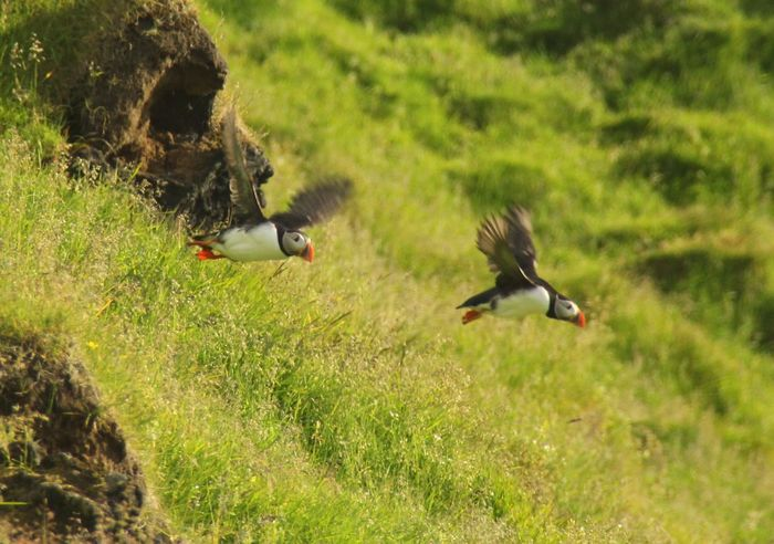 Puffins Iceland Nature Wildlife & Nature Birds Showcase July