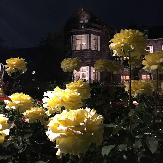 Yellow Rose Garden Iphone6s