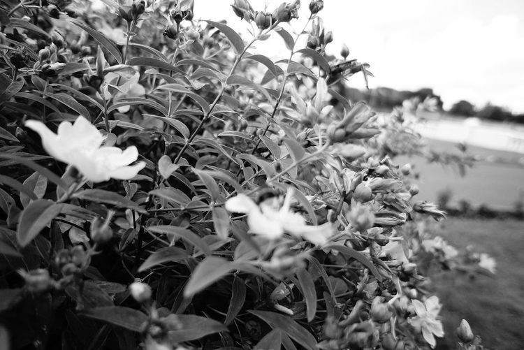 Can You Find The Hidden...? Bee! Thanks @sipi for the invite :-) B&W Collection No Edits No Filters Flowerporn