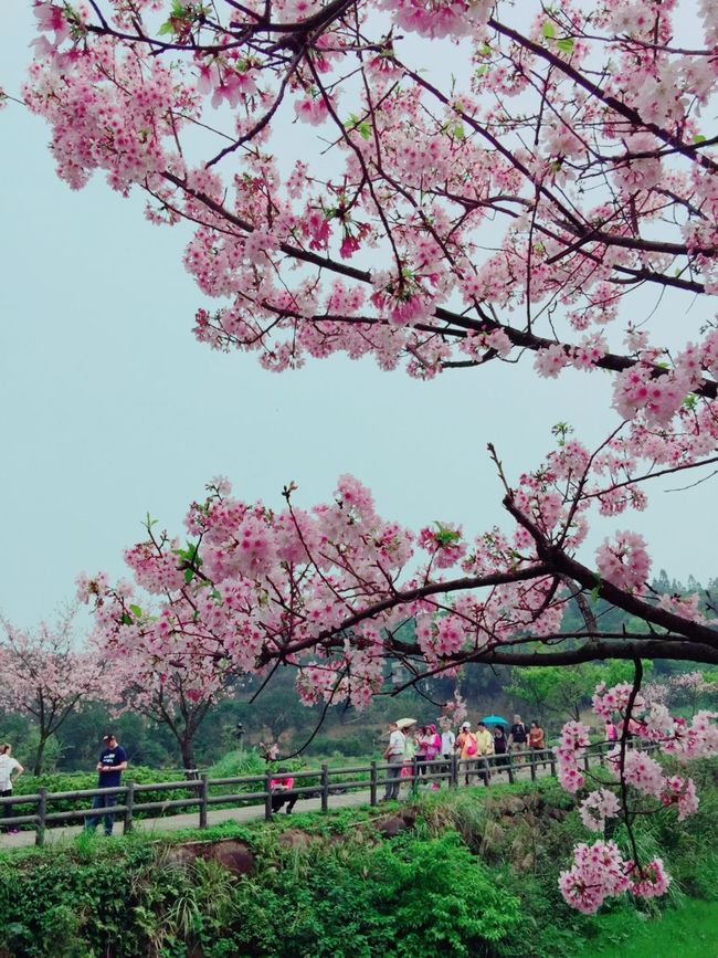 The View And The Spirit Of Taiwan 台灣景 台灣情 Cherry blossoms in spring春の桜が咲きま。新台北市淡水三元步道