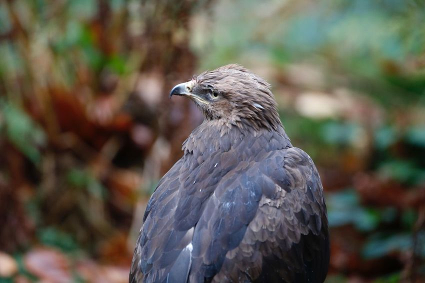 EyeEm Selects Schreiadler lesser spotted eagle Bird Animals In The Wild One Animal Animal Themes Focus On Foreground Animal Wildlife Day Close-up Nature Bird Of Prey No People Outdoors Beak Perching Schreiadler Lesser Spotted Eagle Lesser-spotted Eagle The Week On EyeEm