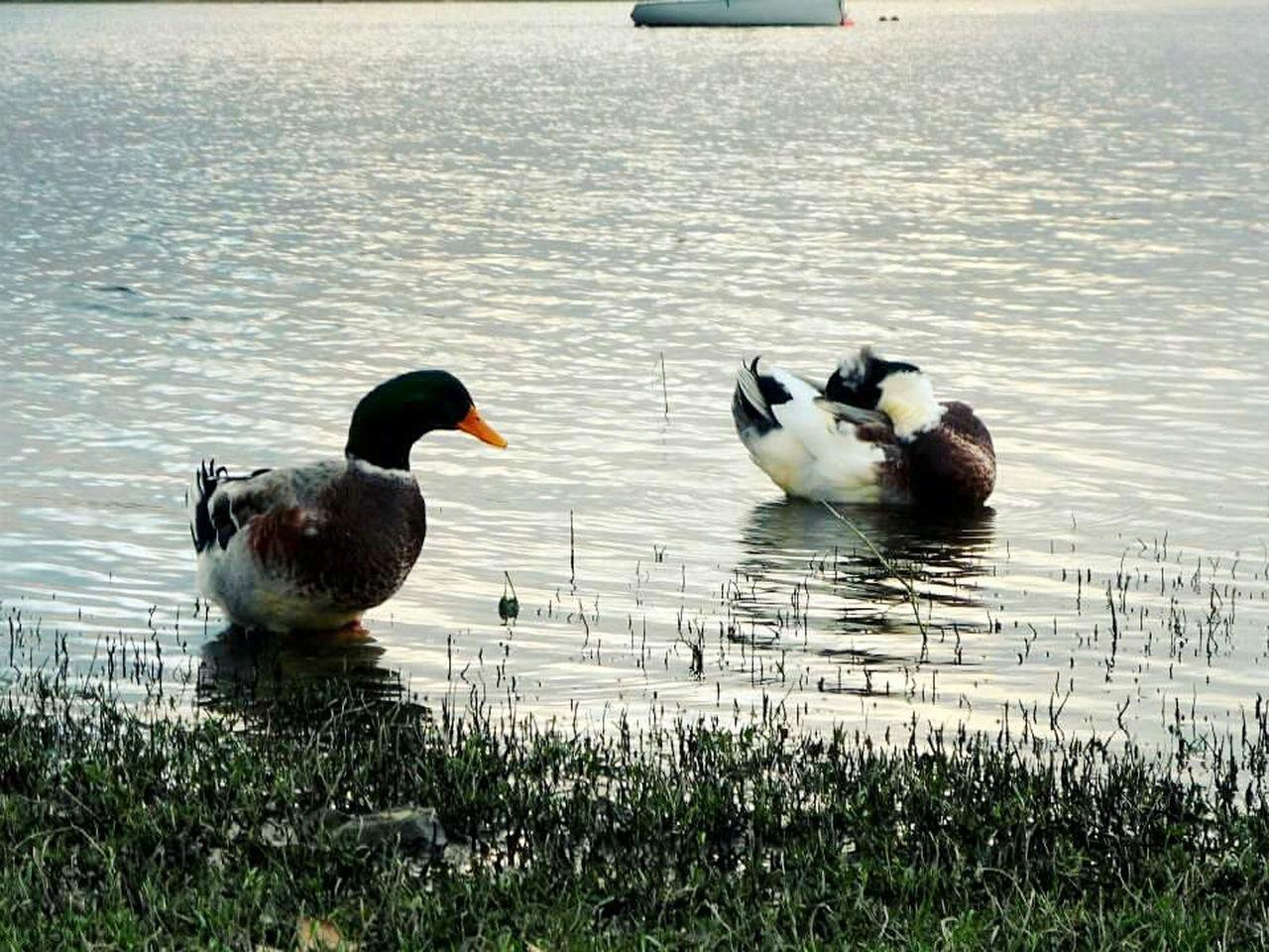Costa azul, Villa Carlos Paz Ducks At The Lake Duck Family Nature