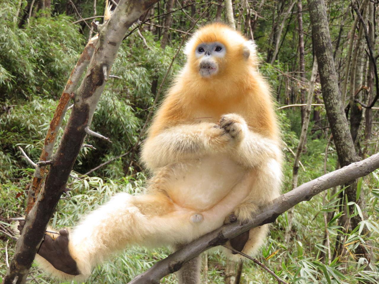 Golden Monkey Sitting On Branch