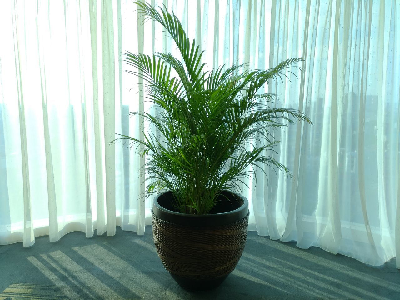 Growth Plant Potted Plant Curtain Indoors  Nature No People Day Tree