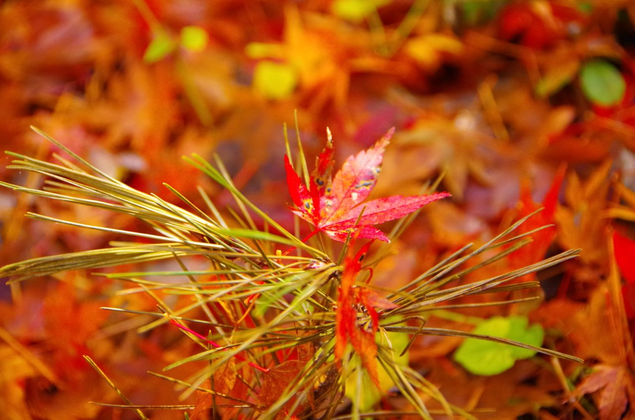 Close-Up Of Leaf Fallen On Grass At Field During Autumn