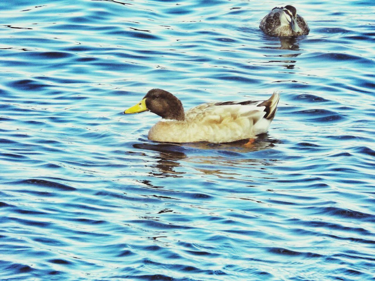 Birds Ducks