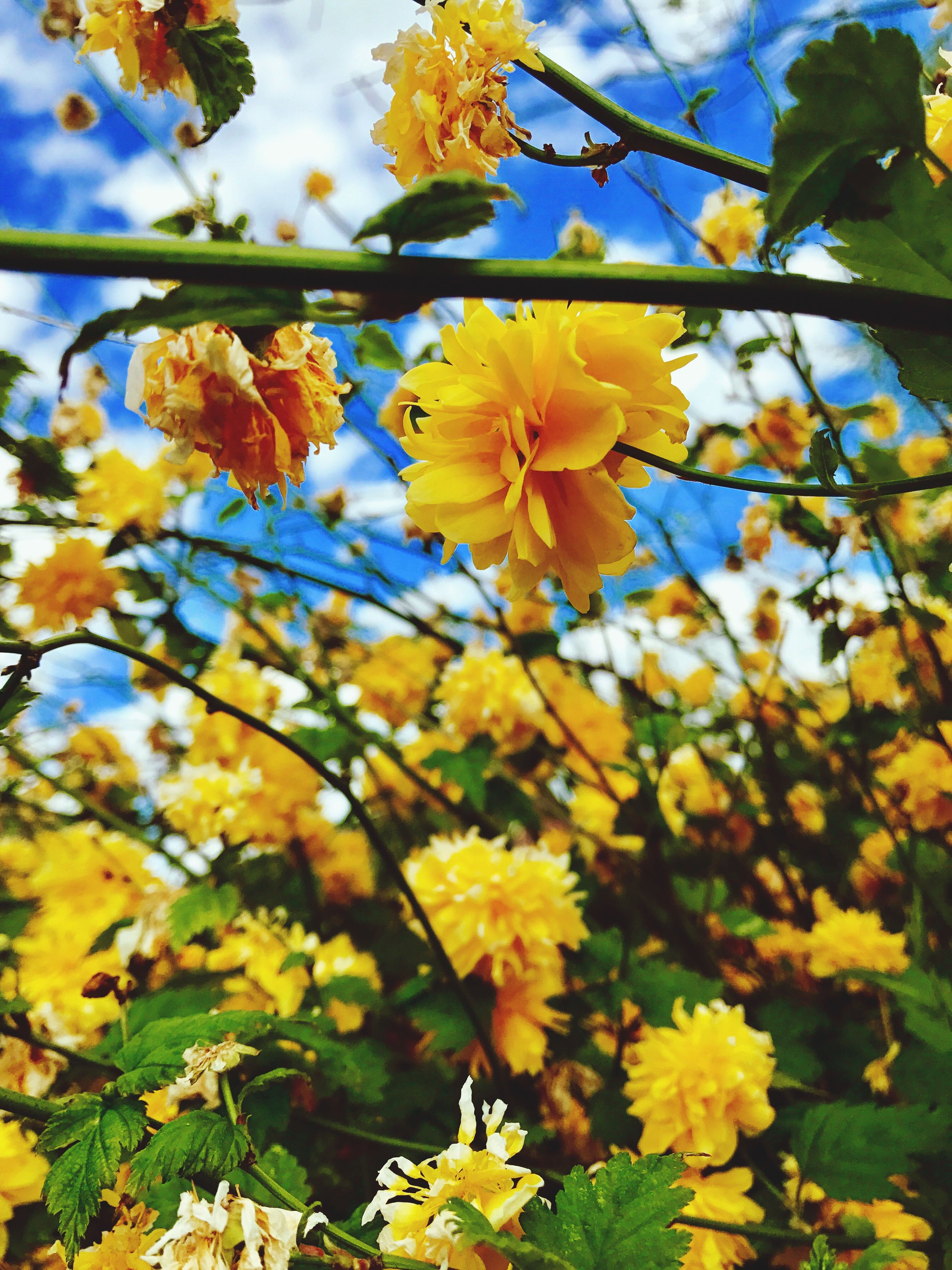 nature, beauty in nature, growth, flower, fragility, freshness, tree, no people, outdoors, day, springtime, petal, leaf, low angle view, branch, yellow, close-up, flower head, sky, backgrounds