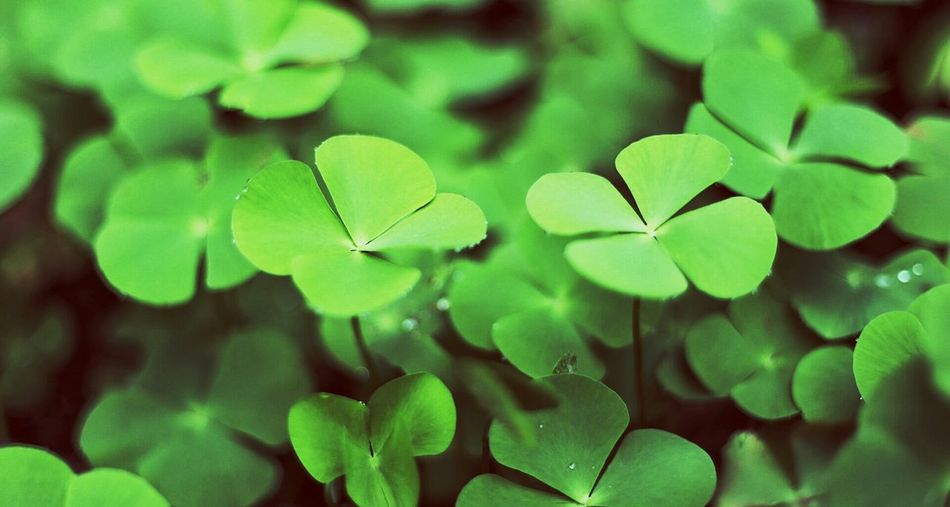Beautiful stock photos of st patricks day, Beauty In Nature, Beginnings, Botany, Close-Up