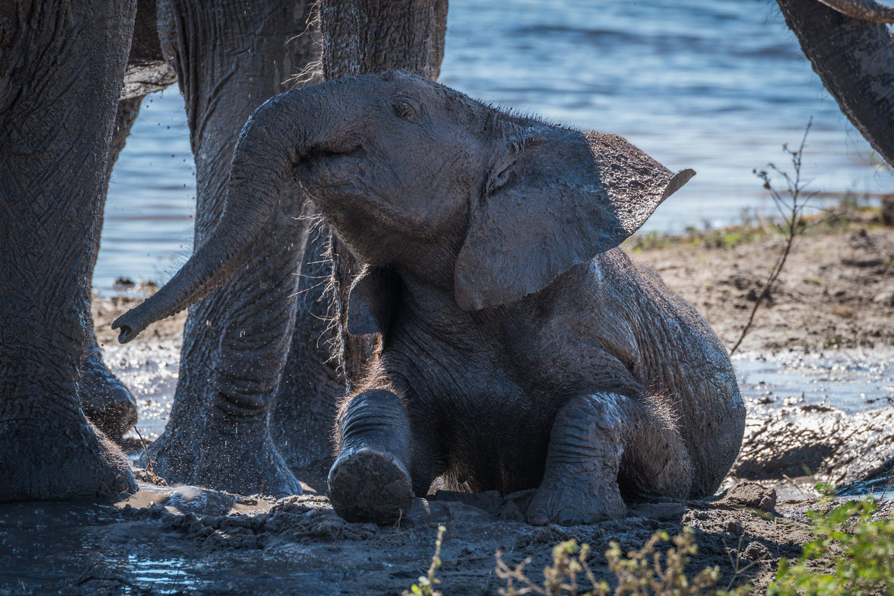 Beautiful stock photos of krokodil, African Elephant, Animal, Animal Body Part, Animal Family