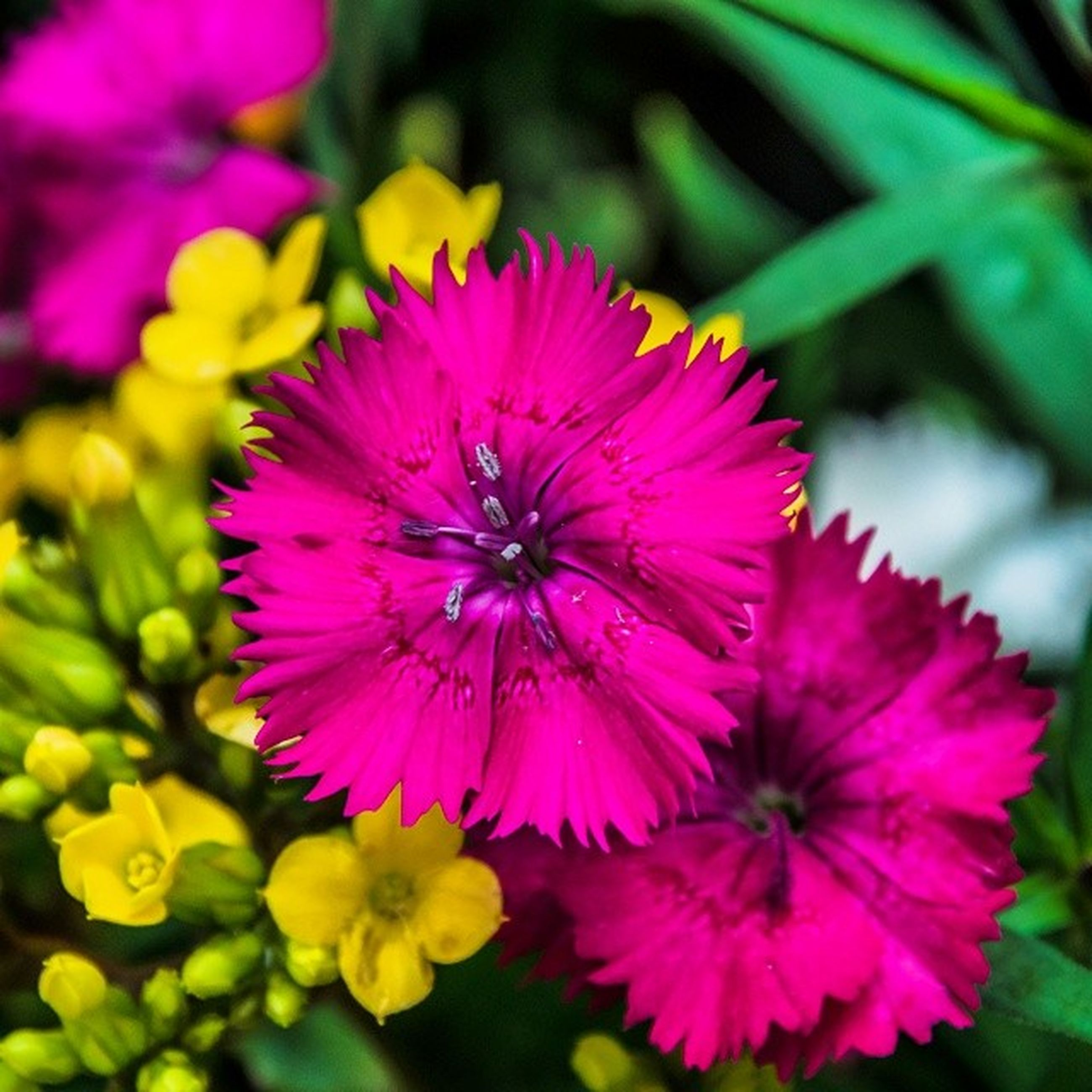 flower, freshness, petal, fragility, flower head, growth, beauty in nature, pink color, close-up, blooming, nature, focus on foreground, pollen, plant, in bloom, park - man made space, purple, pink, blossom, yellow