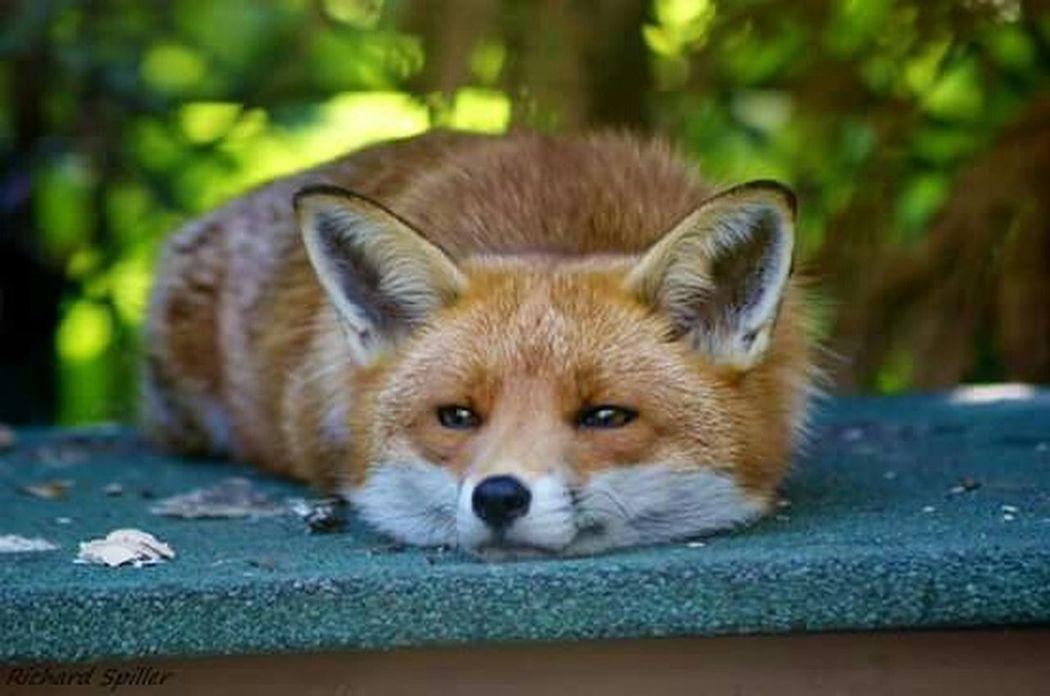 Fox Sleepy Nikon D3200 Wildlife Nature Photooftheday Check This Out Relaxing Wildlife & Nature Wild Animal