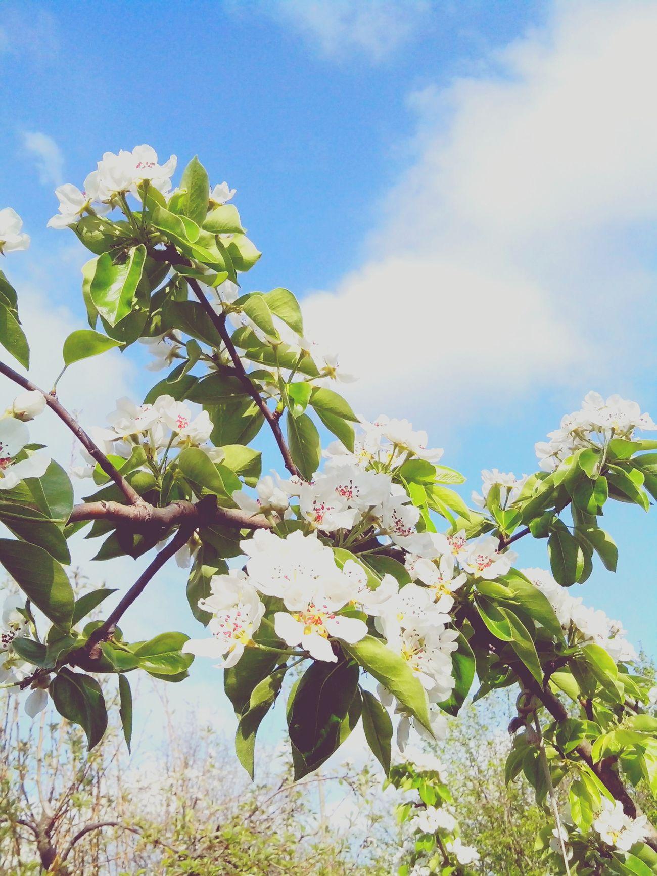 май груша цветение Весна💐🌷🌿
