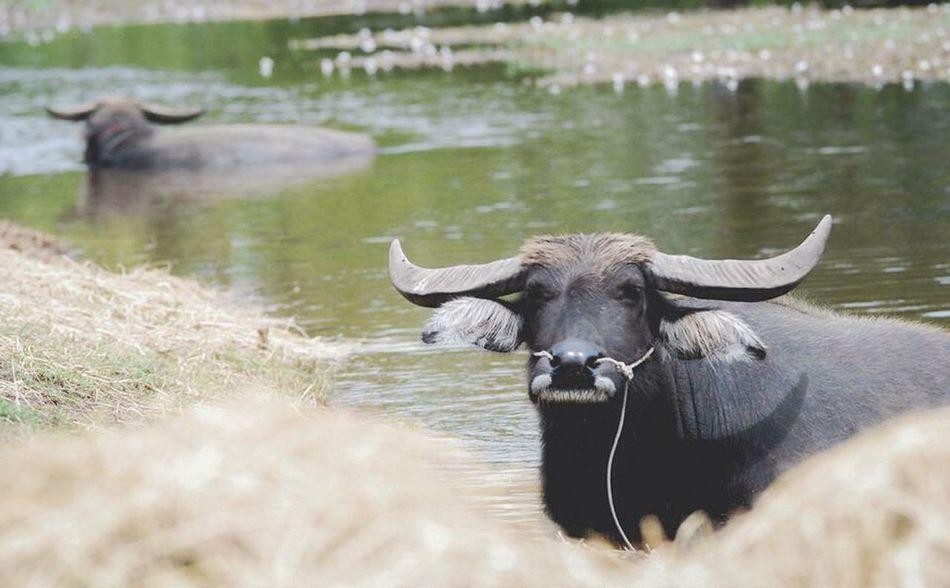 Buffalo Thailand OpenEdit Animals Walk This Way Hello World Eshan ระหว่างทาง Family